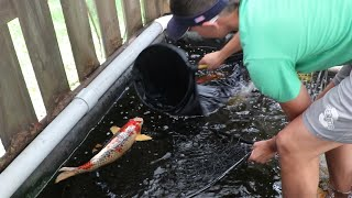 SAVED THIS KOI FROM POND WRECKERS