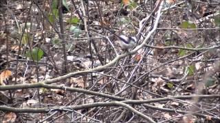 Long-Tailed Tit ~ Schwanzmeise(Aegithalos caudatus), Februar | 2013 Wild Animals