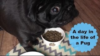 A day in the life of a Pug.