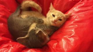 Kittens Play Fighting 6 and 9 Weeks Old