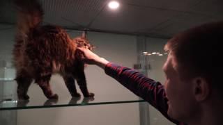 видео Лучшие клубы кошек Москвы!