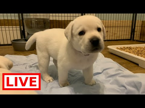 LIVE STREAM Puppy Cam! Adorable 4 week old Labrador Puppies