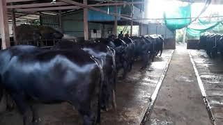 यशोगाथा लवकरच | ५० गायी म्हशी चा गोठा | Hanuman dairy farm kolhapur
