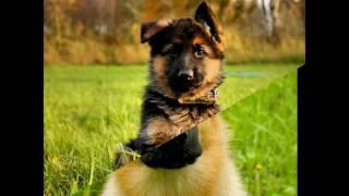 Пограничная  Собака