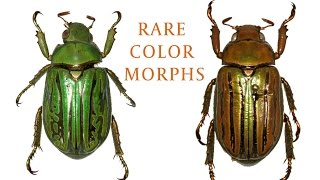 Rare insect color morphs