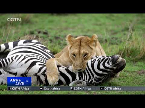 King of the jungle draws tourists to Kenya's game parks