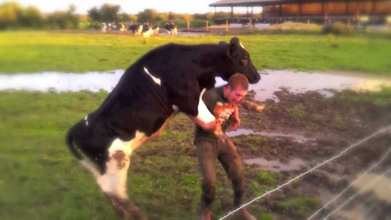 cow mounting farmer youtube