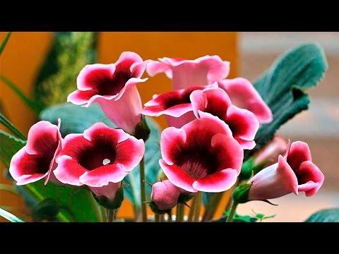 Дачники  Подготавливаем посадочный материал бегоний и глоксиний, высеваем семена для получения цвету