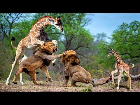 ЖИРАФ против ЛЬВА! Вот на что способен Жираф.