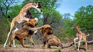 видео: ЖИРАФ против ЛЬВА! Вот на что способен Жираф.