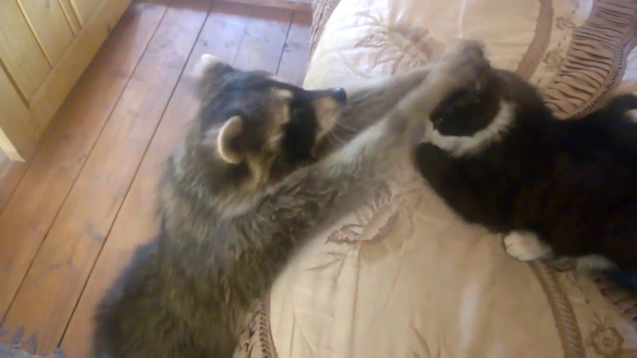 Смешное видео кот и енот