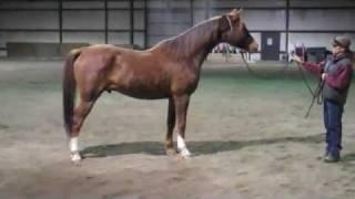 """Lea Shahtgun 2000 Arabian gelding for sale """"in hand"""""""