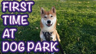 Dog's First Trip to the Dog Park! Shiba Inu Puppy Falls in Love with Dog Park!