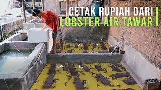 Jurus Sukses Budidaya Lobster Air Tawar Auto Untung Besar Youtube