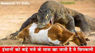 दुनिया की सबसे खतरनाक छिपकली | Largest Lizard on Earth - The Komodo Dragon|Facts about Komodo