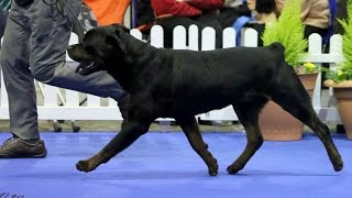 Manchester Championship Dog Show 2015 - Working Group
