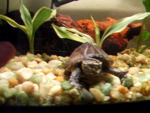Common Musk Turtle Care Video