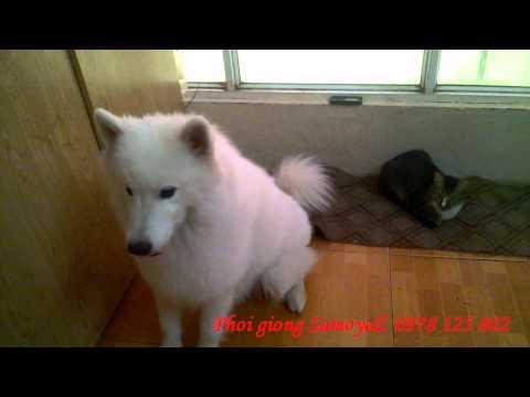 Samoyed thông minh làm trò giả chết- chẳng may bị chủ bắn trọng thương bùmz :(
