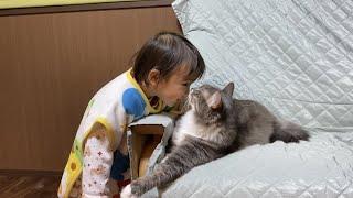 オモチャにつられる猫 ラガマフィンA cat crazy about toys. Ragamuffin.