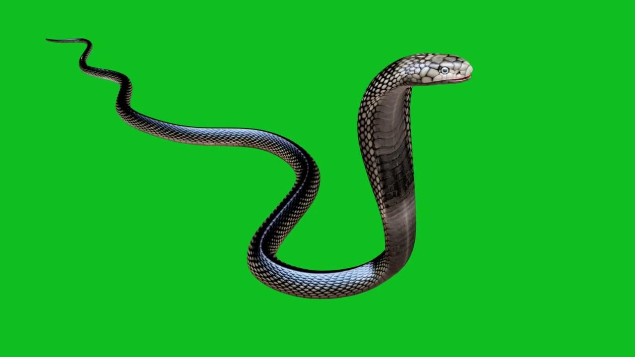 Snake Green screen HD footage 04