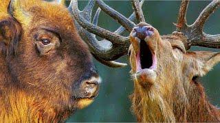 Зубр против оленя - олень против зубра   Film Studio Aves