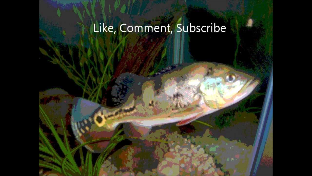 Ultimate freshwater aquarium fish - Ultimate Freshwater Aquarium Fish