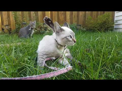 3 month lynx point siamese Oska and 2 year old tabby