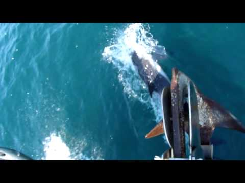 White-beaked Dolphin - Lyme Bay