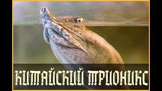 ДАЛЬНЕВОСТОЧНАЯ ЧЕРЕПАХА ИЛИ КИТАЙСКИЙ ТРИОНИКС (Pelodiscus sinensis)