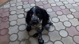 щенок спаниеля.ему уже 2 месяца