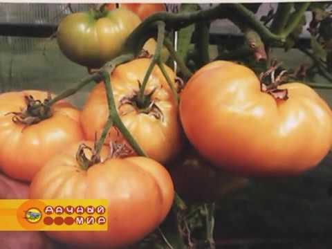 Новые сорта экзотических томатов из коллекции Дмитрия Гусева (1 часть).  АПИОНы для комнатных цветов