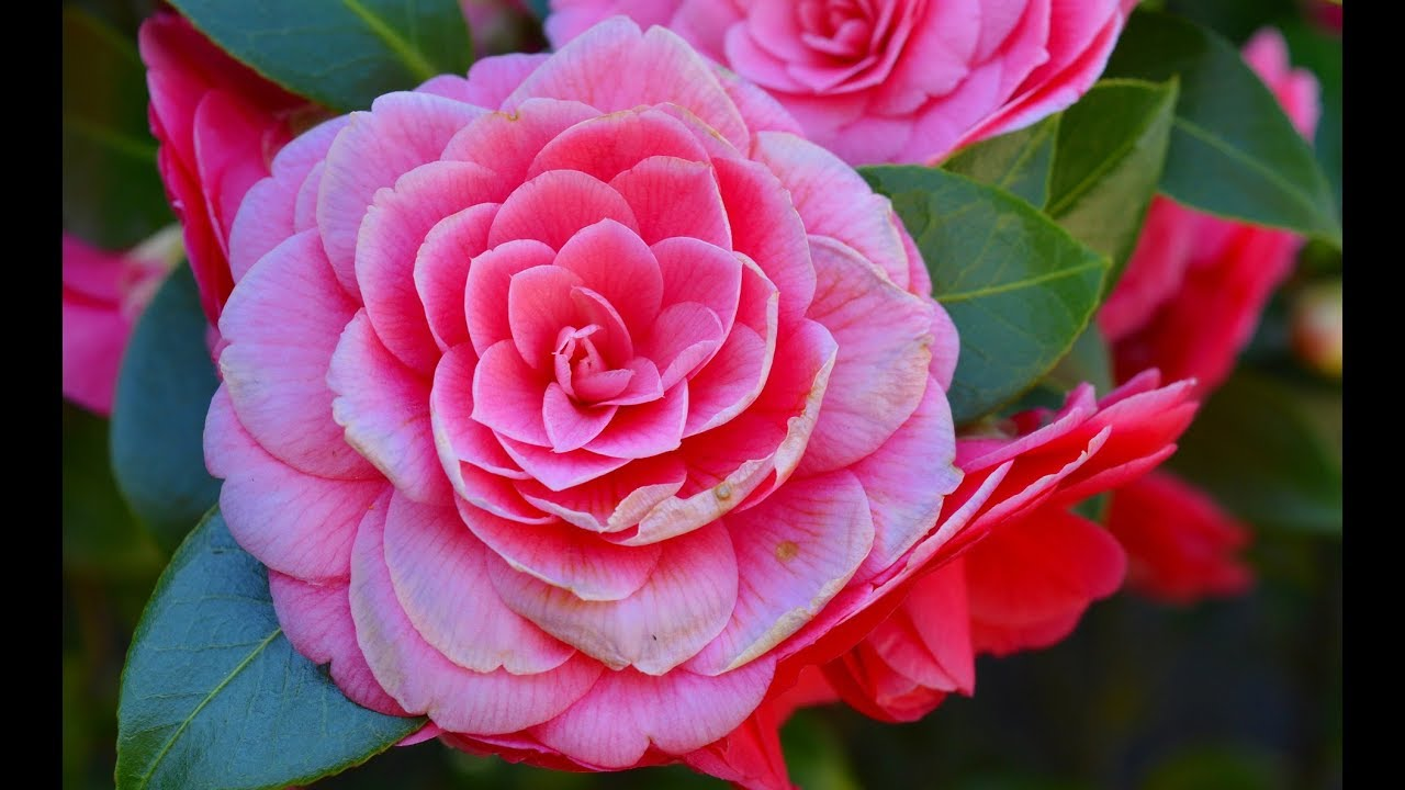 How To Grow Camellia Plant In Pot Youtube