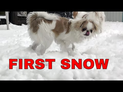 Puppies first time in snow - Japanese Chin puppy in 4K