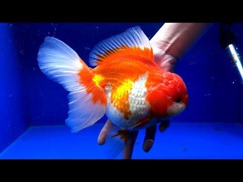 ciri---ciri-atau-pertanda-ikan-mas-koki-bisa-besar-/-the-sign-of-goldfish-fish-can-to-be-monster