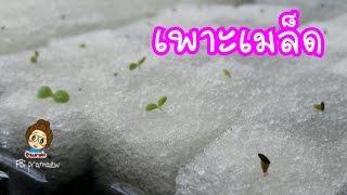 วิธีเพาะเมล็ดผักสลัด ปลูกแบบไฮโดรโปนิกส์แบบละเอียดทุกขั้นตอน | การเพาะเมล็ด How to hydroponics1