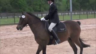 Morgan Horse, Dressage Show Thumbnail