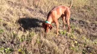 Vizsla and GSP play in the field