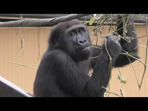 Family of gorillas in Kyoto City Zoo ゴリラ、京都市動物園の家族