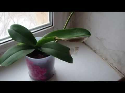 Хобби.Правила обрезки орхидеи после цветения.