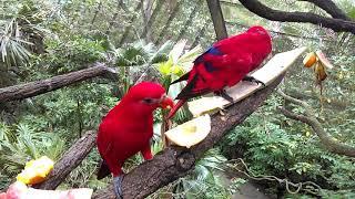 紅伶吸蜜鸚鵡