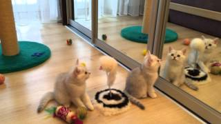 Котята британские серебристые шиншиллы