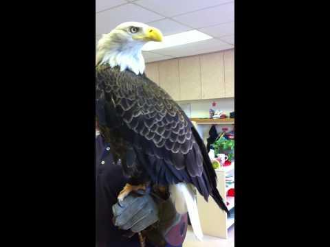 A Beautiful Bald Eagle visits The Maria Montessori Center