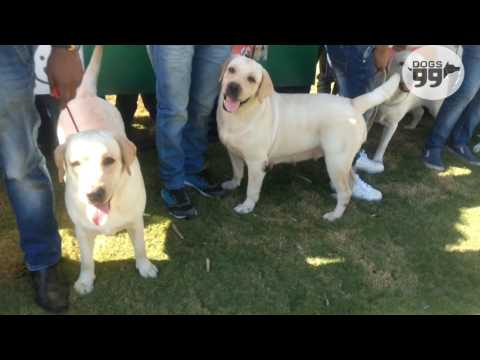 Labrador Speciality - Pune | 7th Jan 2017 | Dogs99.com