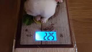 сколько должен весить британский котенок?