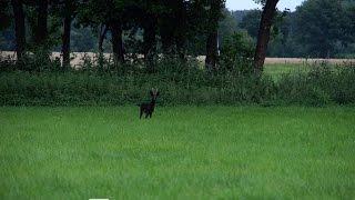 Jagd Auf Den Schwarzen Rehbock