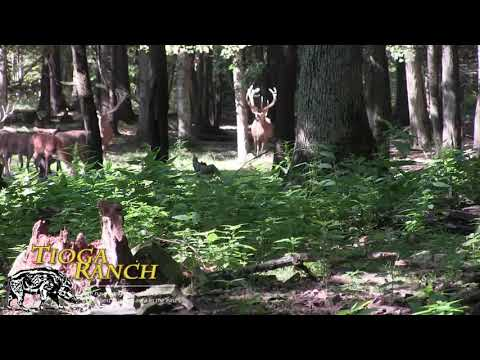 Huge Red Stag Kill - Guided Hunting Trips In PA | Tioga Ranch