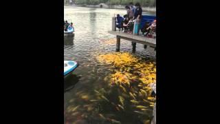 Золотые рыбки в Китае.