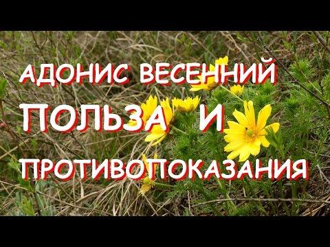 Адонис весенний (горицвет весенний) - Симптомы и лечение