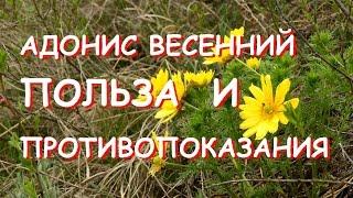 видео Багульник болотный: лечебные свойства и противопоказания