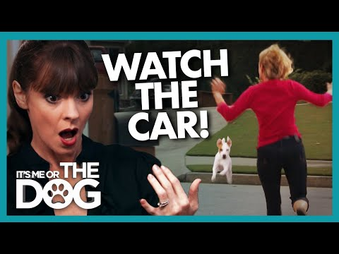 Dog Dashes into Road in First Minute of Training |  It's Me or The Dog